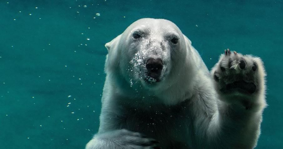 polar bear 04